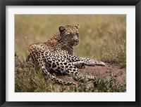 Framed Africa, Tanzania, Serengeti. Leopard, Panthera pardus.
