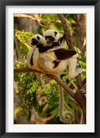 Framed Coquerel's sifakas, primate, deciduous forest MADAGASCAR