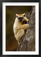 Framed Golden-crowned sifaka, Daraina, MADAGASCAR