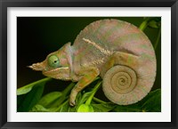 Framed Baudrier's Chameleon, Lizard, Madagascar, Africa
