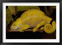 Framed Globular Chameleon, Lizards, Madagascar