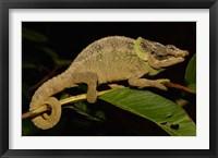 Framed Green-eared Chameleon lizard, Madagascar, Africa