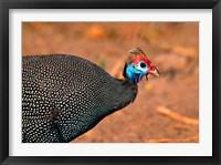 Framed Helmeted Guinea Fowl, Kenya