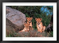 Framed Den of Lion Cubs, Serengeti, Tanzania