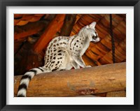 Framed Common Genet in the Ndutu Lodge, Tanzania