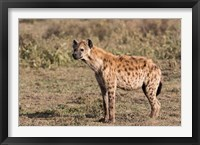 Framed Africa, Tanzania, Serengeti. Spotted hyena, Crocuta crocuta.