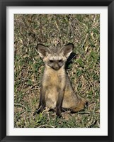 Framed Bat-Eared Fox, Tanzania