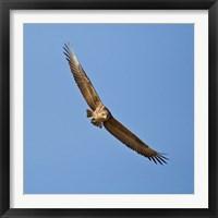 Framed Africa. Tanzania. Bateleur Eagle, Serengeti NP