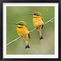 Framed Africa. Tanzania. Little Bee Eaters at Manyara NP