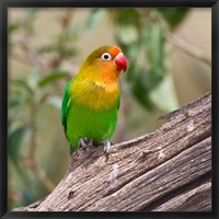 Framed Fischer's Lovebird tropical bird, Tanzania