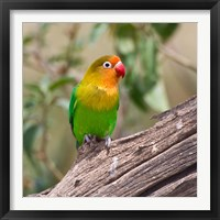 Framed Fischer's Lovebird tropical bird, Tanzania