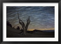 Framed dead bristlecone pine tree against a backdrop of star trails