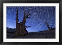 Framed Star trails above an ancient bristlecone pine tree, California