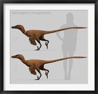 Framed Size comparison of Velociraptor mongoliensis to a human
