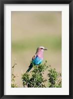 Framed Lilac-breasted Roller sitting on a bush in the Maasai Mara, Kenya