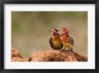 Framed Kenya, Samburu, Red-Yellow Barbet bird