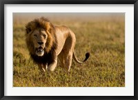 Framed Lion, Ngorongoro Crater, Serengeti National Park, Tanzania