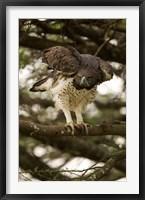Framed Martial Eagle, Gol Kopjes, Serengeti National Park, Tanzania
