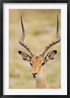 Framed Male Impala, Botswana