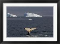 Framed Humpback whale, Western Antarctic Peninsula