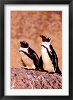 Framed Jackass Penguins, Simons Town, South Africa