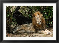 Framed Kenya, Masai Mara Game Reserve, lion in bushes