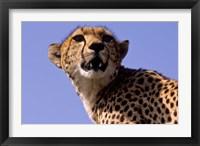 Framed Kenya, Masai Mara National Reserve. Female Cheetah