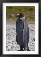 Framed Melanistic king penguin, King Penguins