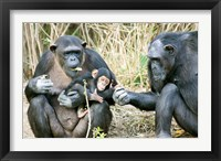Framed Kenya, Chimpanzees at Sweetwaters Tented Camp