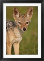 Framed Kenya, Masai Mara GR, Black-backed Jackal