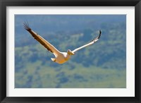 Framed Kenya. White Pelican in flight at Lake Nakuru.