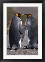 Framed King penguins, mating ritual