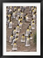 Framed King penguins, Salisbury Plain