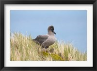Framed Light-mantled sooty albatross bird, Gold Harbor