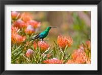 Framed Malachite Sunbird, Cape Province, South Africa