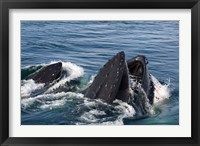 Framed Humpback whales feeding, western Antarctic Peninsula