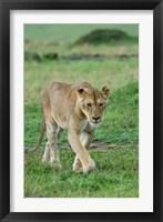 Framed Kenya: Masai Mara Game Reserve, Mara Conservancy, Lion
