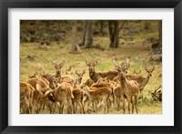 Framed Mauritius, Java deer wildlife