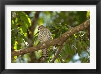 Framed Mauritius, Kestrel bird