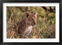 Framed Lion cub, Masai Mara National Reserve, Kenya