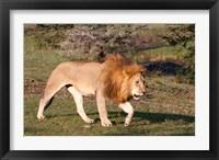 Framed Lion, Panthera leo, Maasai Mara, Kenya.