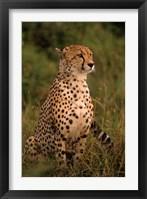 Framed Kenya: Masai Mara, head of mating cheetah