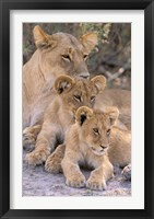Framed Lioness and Cubs, Okavango Delta, Botswana