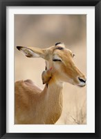 Framed Impala, Red-billed Oxpecker, Samburu Game Reserve, Kenya