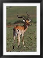 Framed Male Impala, Antelope, Maasai Mara, Kenya