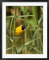 Framed Lesser Masked Weaver bird, Mkuze GR, South Africa