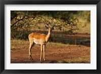 Framed Impala, Maasai Mara Wildlife Reserve, Kenya