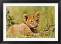 Framed Lion cub in the bush, Maasai Mara Wildlife Reserve, Kenya