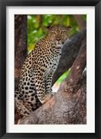 Framed Leopard, Botswana
