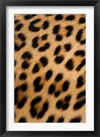 Framed Leopard, Okavango Delta, Botswana